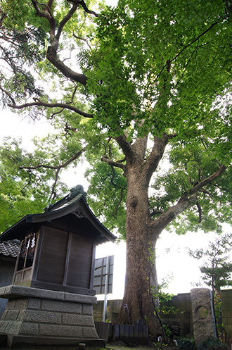140705東京 葛西神社樟①