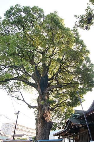 140727東京 熊野神社楠①