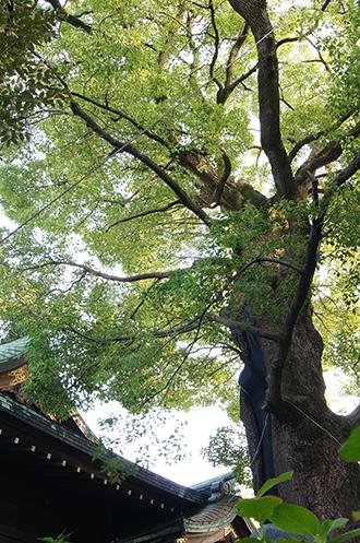 140727東京 熊野神社楠⑧