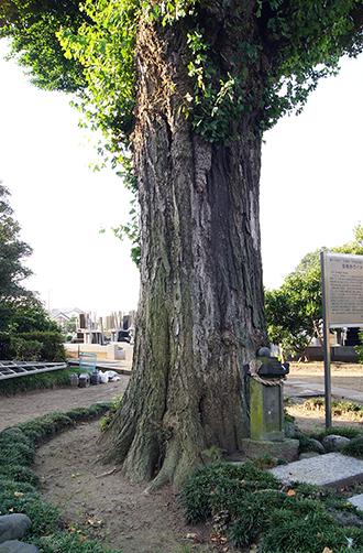 140802埼玉 聖徳寺の銀杏③