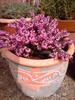 エリカの植木鉢260225