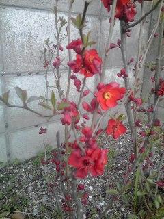 *木瓜の花A260322