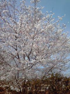 *桜D260401