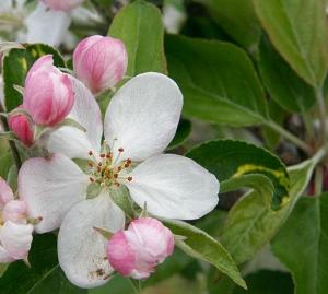 リンゴ (513x460)