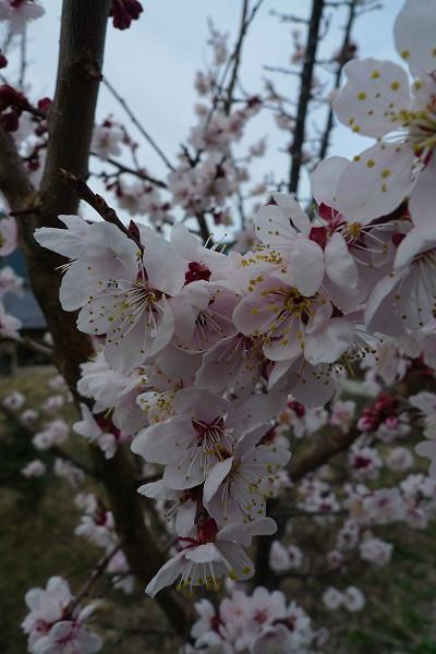 140411-庭の桜