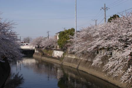 京成鉄橋と桜
