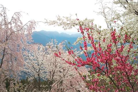 神山の花見山