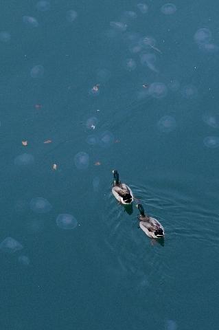 遊泳中の鴨