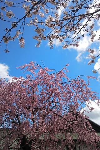 枝垂れ桜とソメイヨシノ