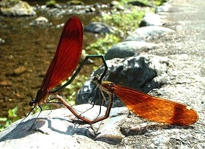 ミヤマカワトンボ雌雄