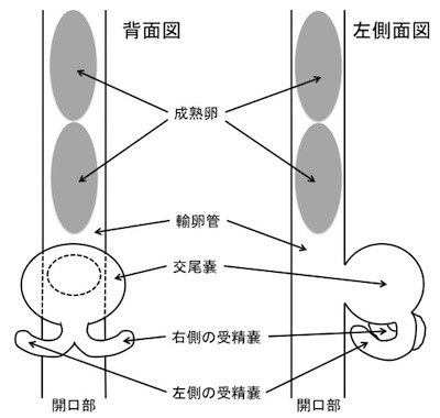 ミヤマカワトンボメスの内部模式図