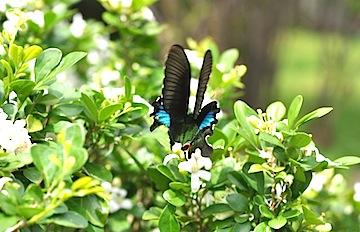 森林公園の蝶1