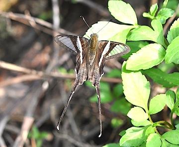 森林公園の蝶2