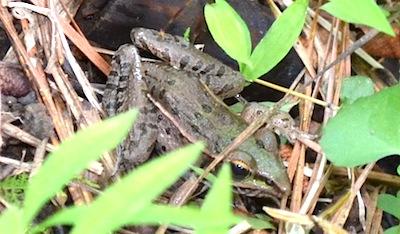 アメリカのカエル2