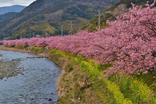 2013年3月3日 河津桜