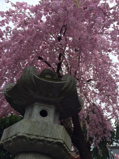 桜枝垂れる