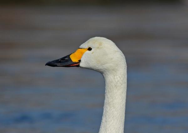 白鳥4 コハクチョウ