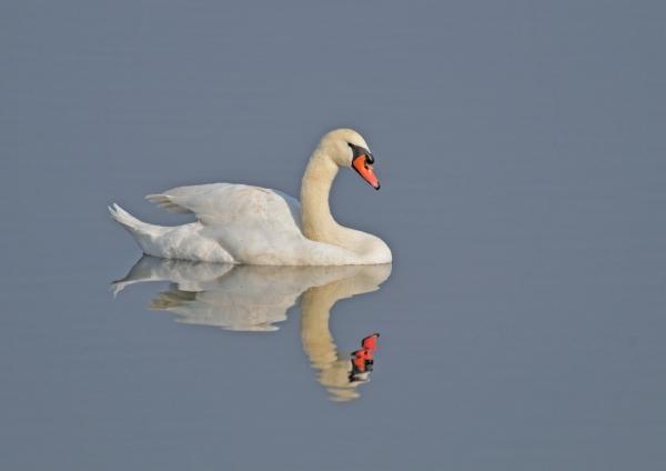 白鳥7 コブハクチョウ
