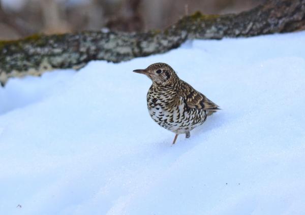 雪上 トラツグミ-086