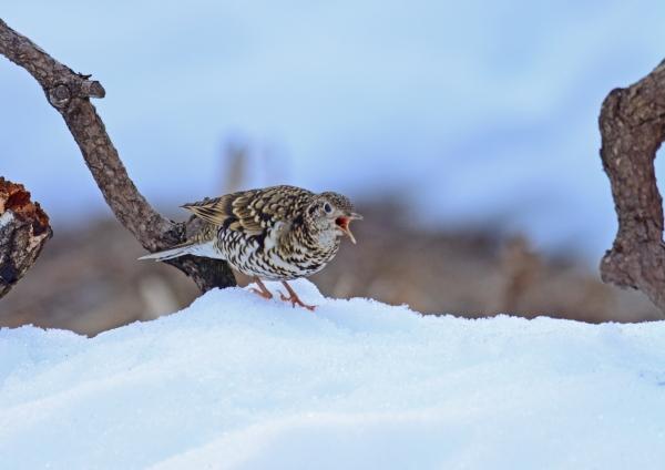 雪上 トラツグミ-094