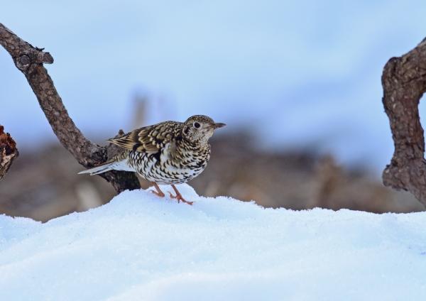 雪上 トラツグミ-096
