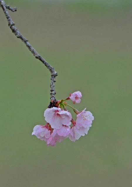 大寒桜 北浅羽-069