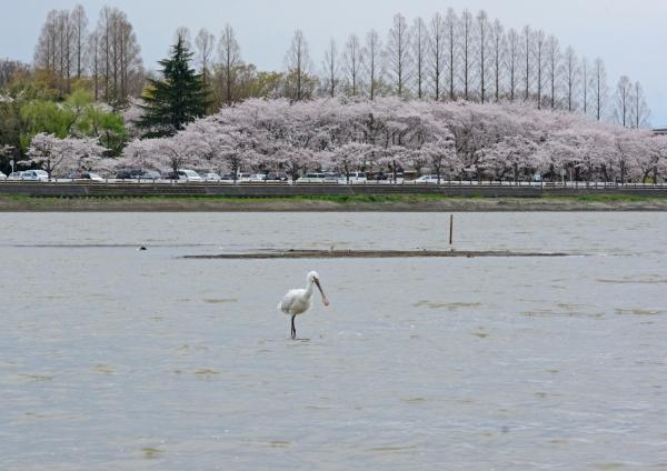 ヘラサギ 桜背景-037