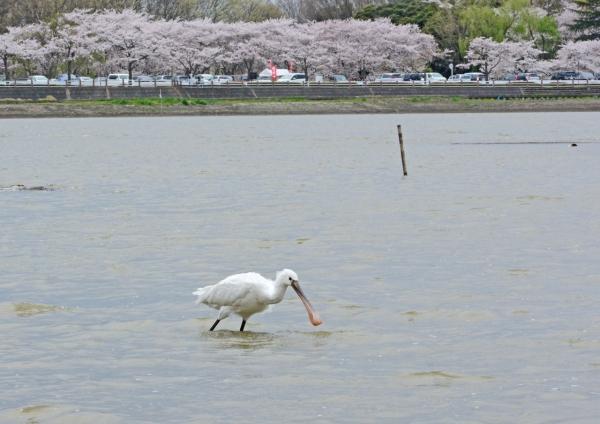 ヘラサギ 桜背景-049