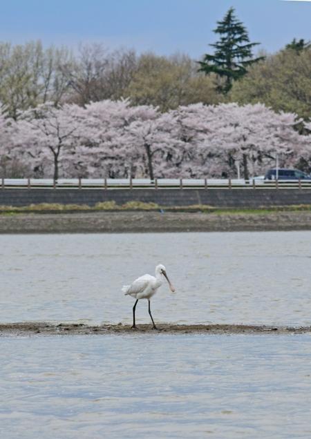 ヘラサギ 桜背景-027