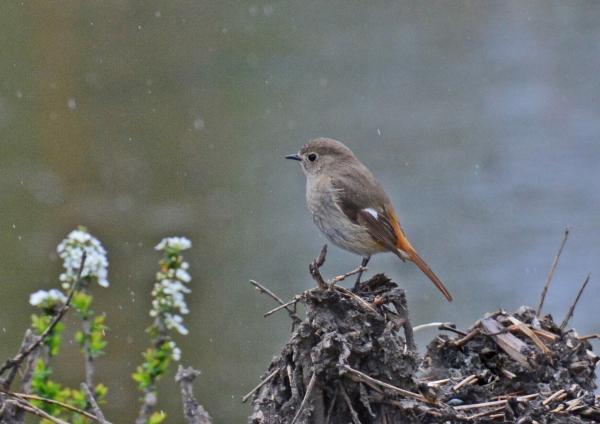 ジョウビタキ-冬鳥-060