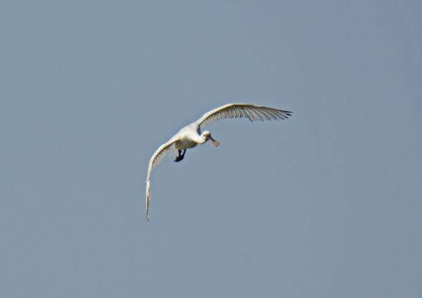 ヘラサギ 飛翔-122