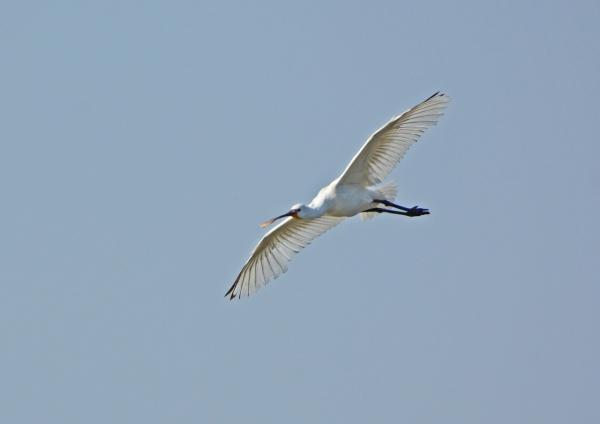 ヘラサギ 飛翔-125