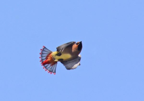 ヒレンジャク 飛翔-026