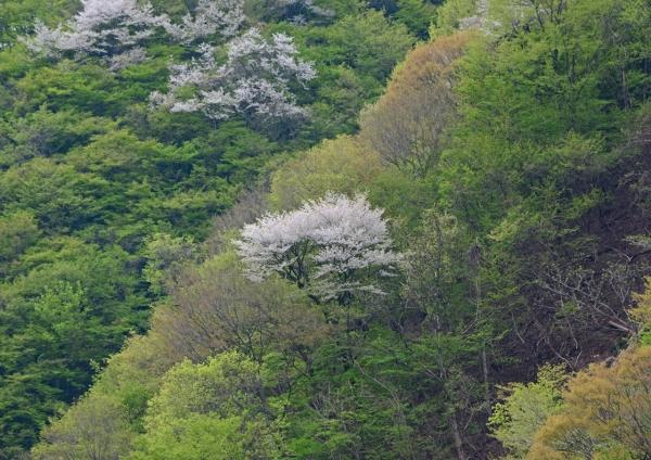 新緑と桜 -006