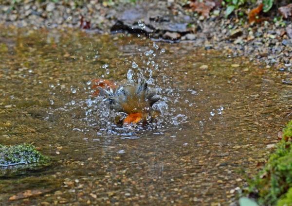 コマドリ 水浴び-160