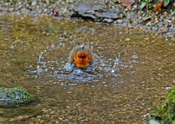 コマドリ-水浴び -161