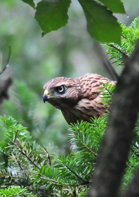 オオタカ幼鳥 阿須-041