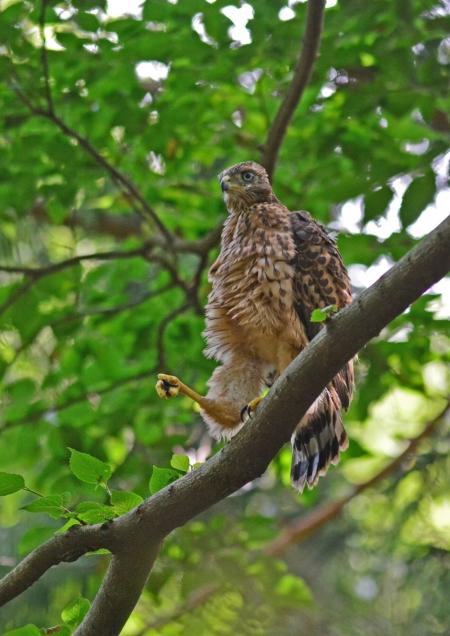 オオタカ幼鳥-036