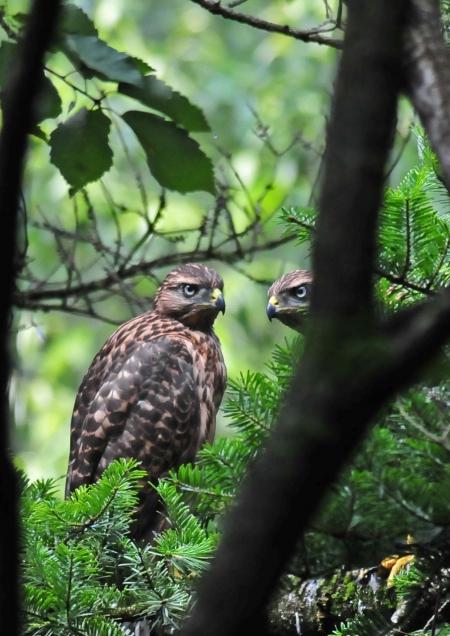 オオタカ幼鳥-051