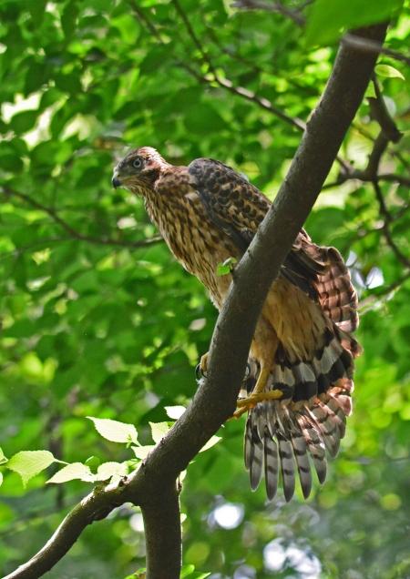 オオタカ幼鳥-085