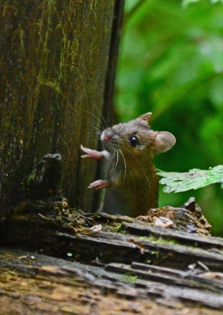 ネズミ -083