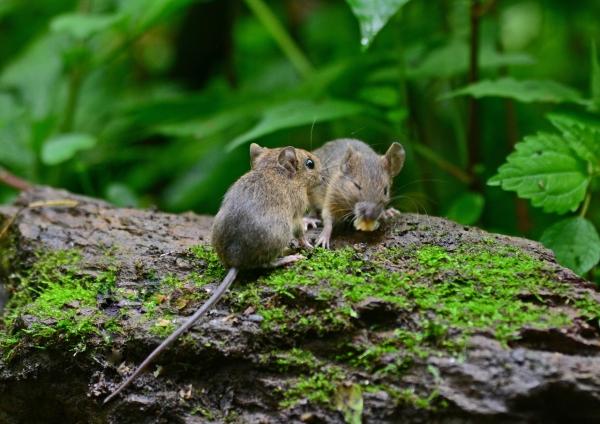 ネズミ -036
