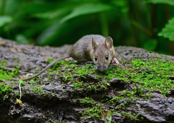 ネズミ -039