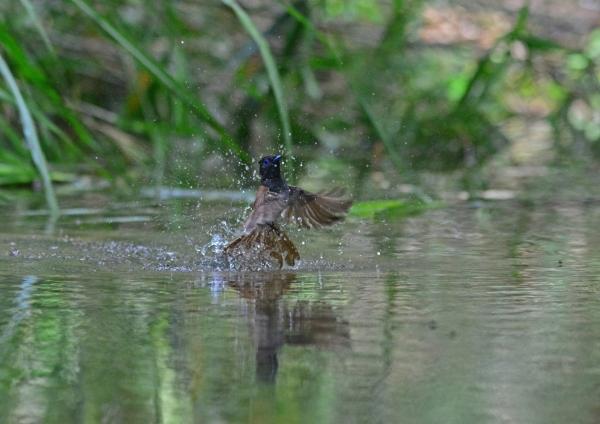 サンコウチョウ雌水浴-02