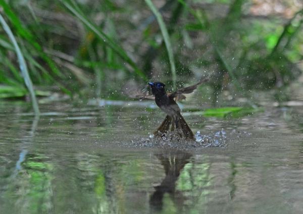 サンコウチョウ雌水浴2-19