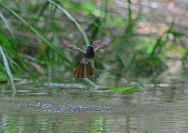 サンコウチョウ雌水浴-11