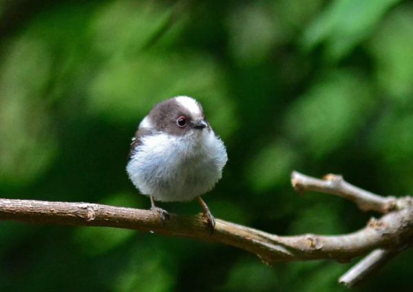 エナガ幼鳥 -021