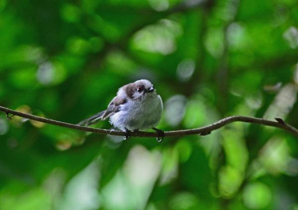 エナガ幼鳥 -033