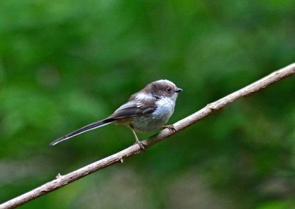 エナガ幼鳥 -026