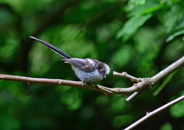 エナガ幼鳥 -050